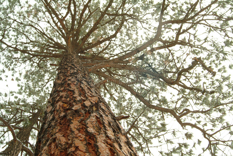 Download Looking Up The Trunk Of A Tall Pine Tree Royalty Free Stock Photo - Image: 5564545