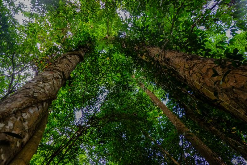 Looking up from under sea oak tree forest with worm eye view concept.Selective focus texture on trunk royalty free stock photography