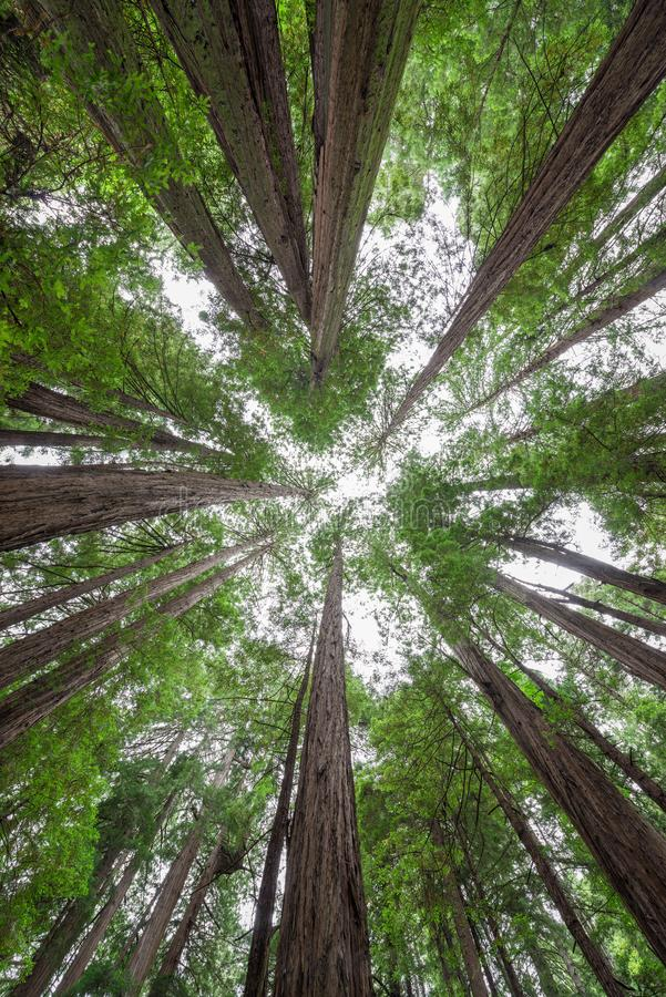 Standing under a canopy of trees in Muir Woods National Monument. Looking up from under tall Redwood Trees at Muir Woods National Monument royalty free stock image