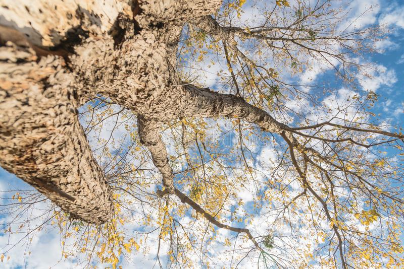 Looking up view of maple autumn leaves almost bare tree during fall season in Dallas stock photos