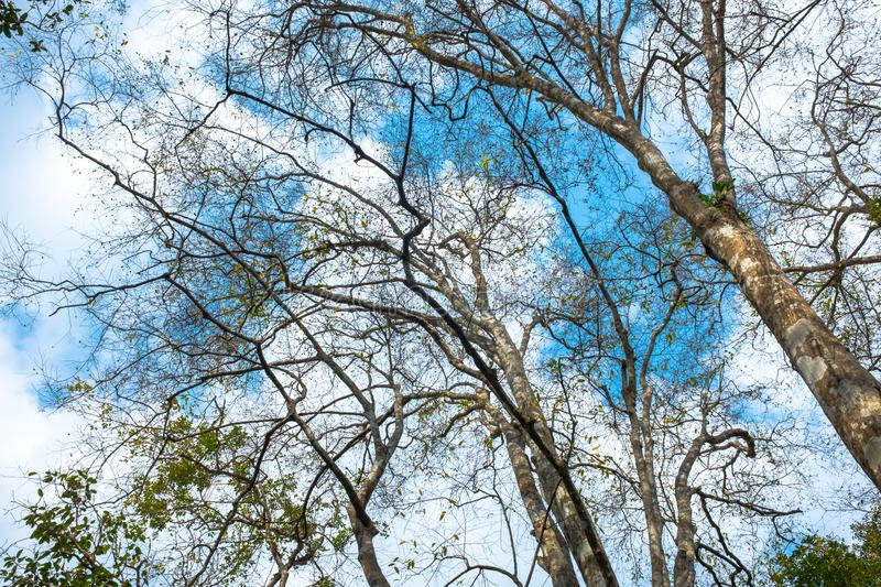 Looking up view to trees branch with blue sky and cloud. I. Looking up view to trees branch with blue sky and cloud royalty free stock images
