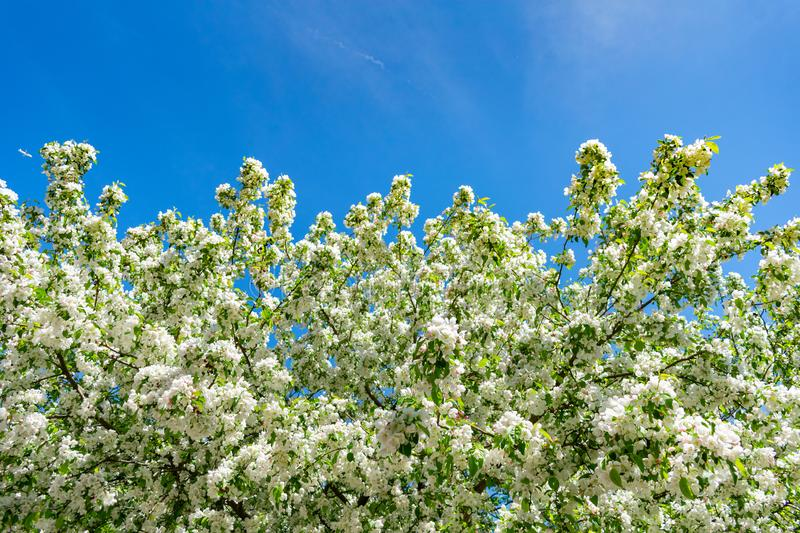 Springtime White Flowering Tree and Blue Sky royalty free stock photography