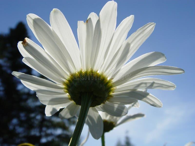 Download Looking Upward at a Daisy stock photo. Image of closeups - 2208