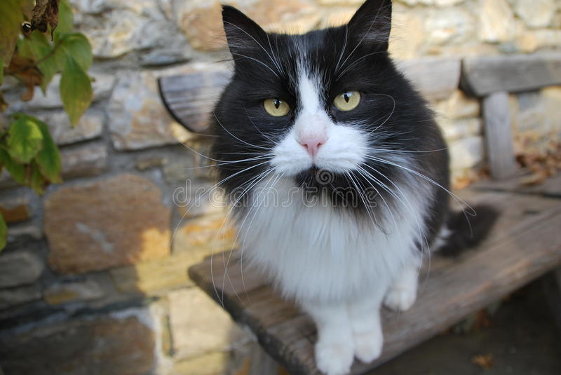 Black and white cat with a cool stare royalty free stock photography