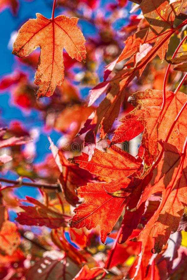 Beautiful color fall leaves before an azure sky royalty free stock photos