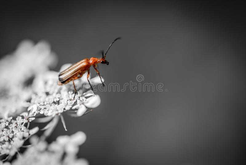 cardinal insect alone red and black posed on a white plant royalty free stock photos