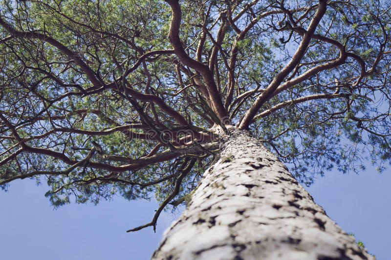 Lookup at high pine with winding branches. Lookup along the trunk of an high, old pine with winding branches royalty free stock photo