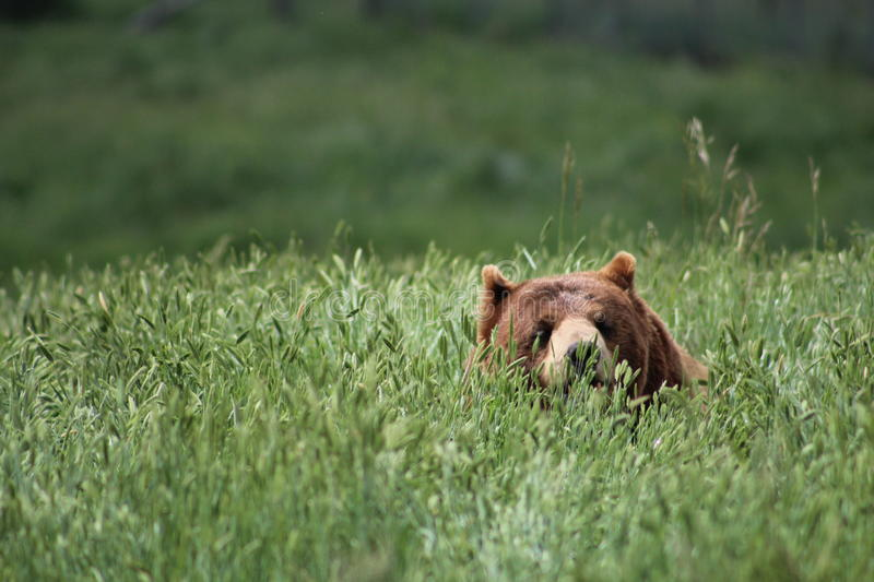Looming Grizzly Bear royalty free stock photo