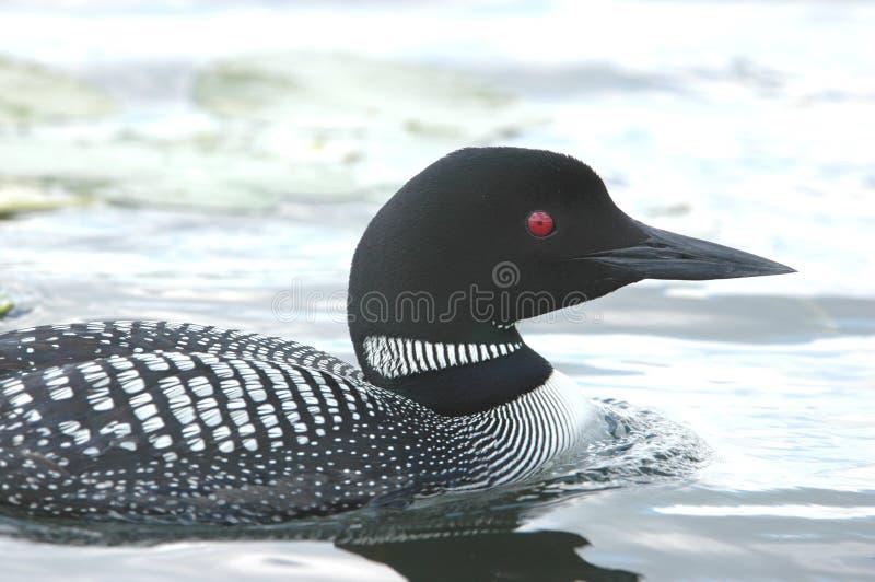 Loon che rema nel lago immagini stock libere da diritti