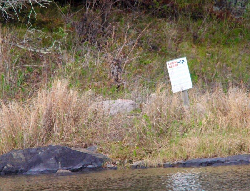 Loon gniazduje wyspa terenu jezioro drewna zdjęcia royalty free