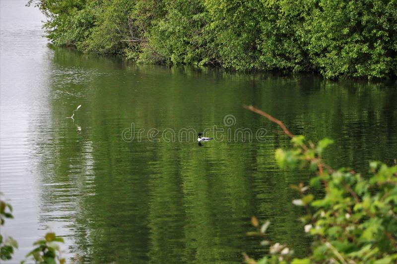 Loon on lake with fish jumping out of water stock photos