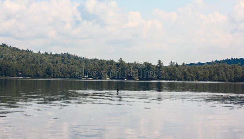 Loon na jeziorze zdjęcia royalty free
