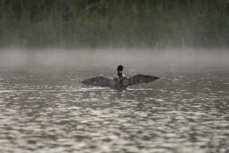 Loon na jeziorze na mgłowym ranku obrazy stock