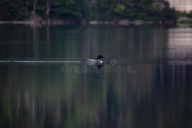 A loon swimming in a lake stock image