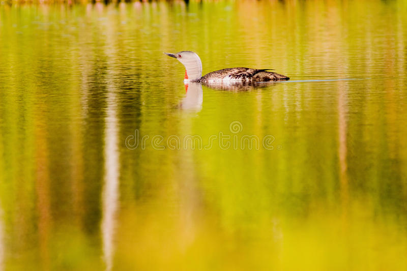 Loon throated rosso fotografie stock