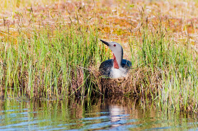 Loon throated rosso immagine stock