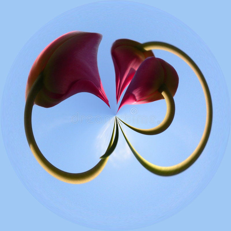 Looped tulips stock image