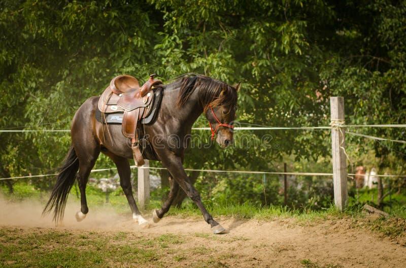 Looppas van een de mooie Cowboypaard in een cirkelruimte Het paard zit zonder een ruiter Het paard heeft een donkere bruine kleur royalty-vrije stock afbeeldingen