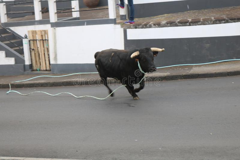 A loose bull. Traditional azores bullfighting feast. Portugal. Europe. A bull is released in a village center, Graciosa, Azores , Portugal. While several men stock photo