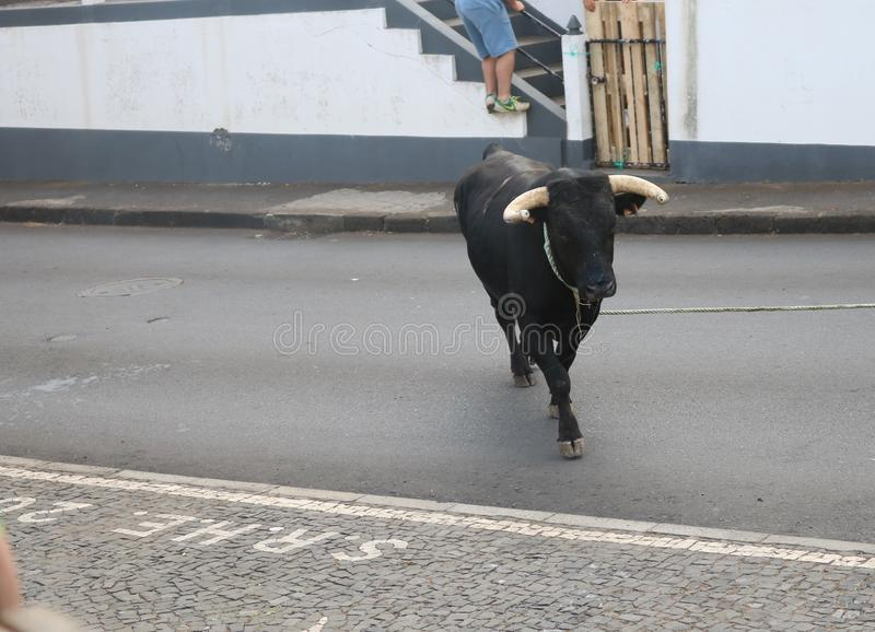 A loose bull. Traditional azores bullfighting feast. Portugal. Europe. A bull is released in a village center, Graciosa, Azores , Portugal. While several men royalty free stock photography