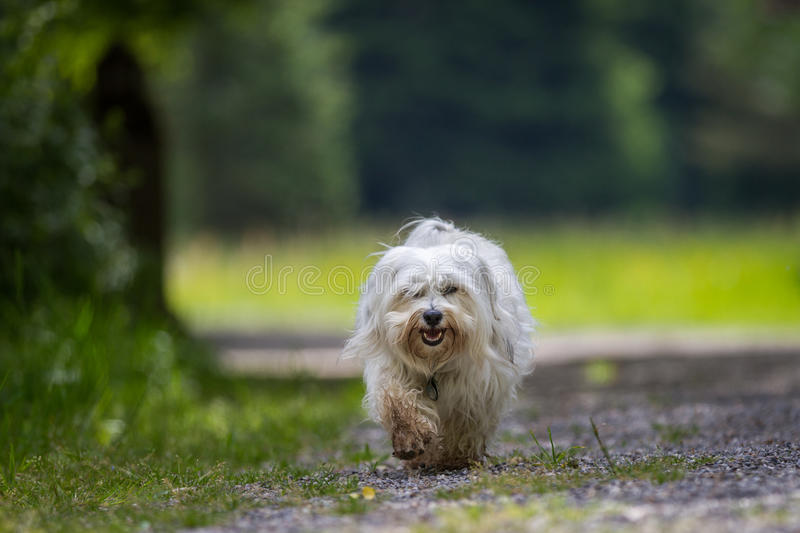 Loose gear. Small white Havanese is very leisurely through the park, step by step he makes on the gravel path stock photo