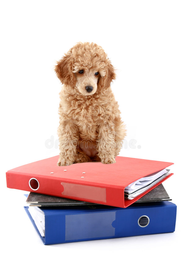 Loose-leaf binders with apricot poodle. Over white background royalty free stock photo