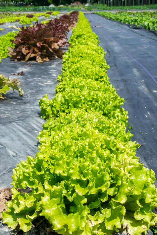 Loose leaf lettuce in the field stock images