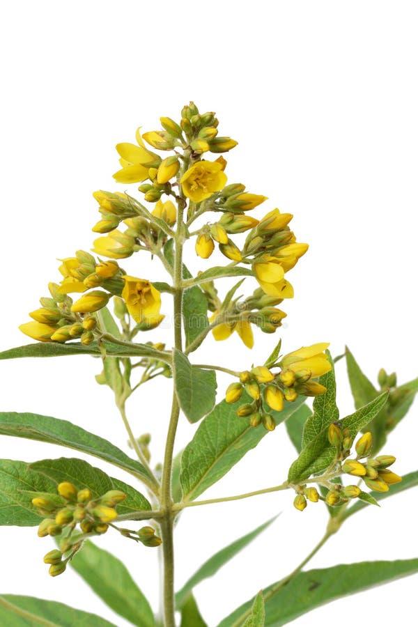 Loosestrife amarelo (Lysimachia vulgaris) imagens de stock