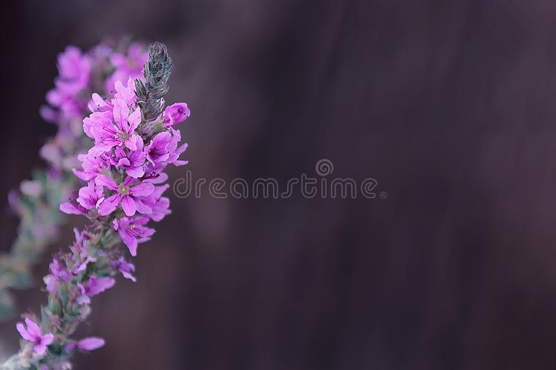 Loosestrife flowers close-up on gray background stock image