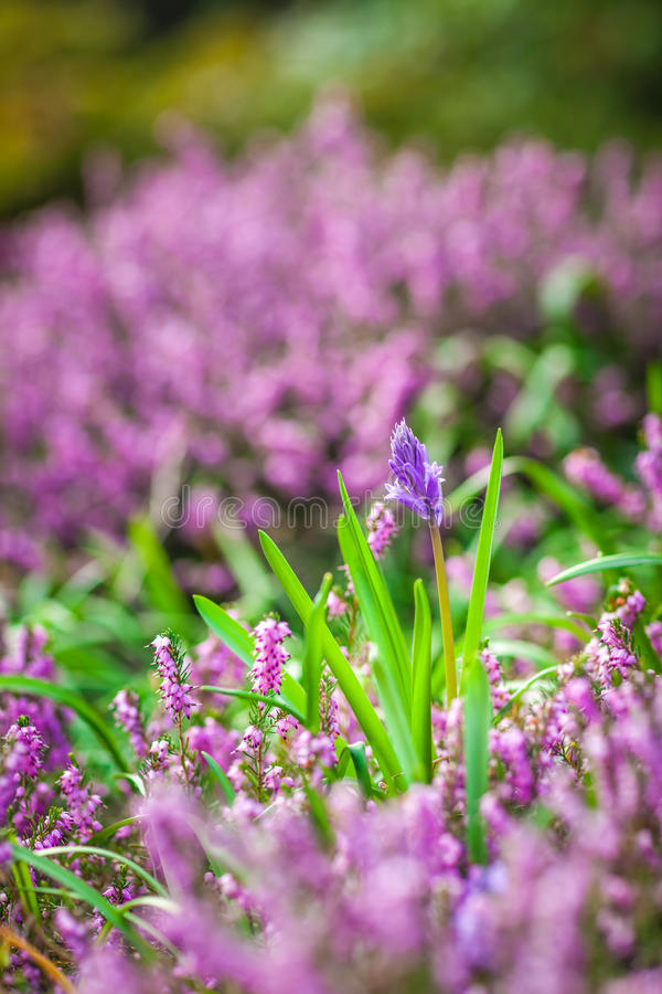 Loosestrife Flowers in spring. Purple Loosestrife flowers in the garden in spring royalty free stock photo
