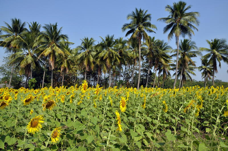 Download Lop Buri Province, Thailand: Sunflower Fields Stock Image - Image: 18001385