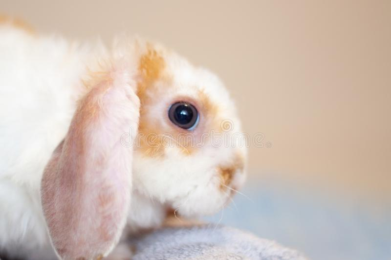 Lop ear little Red and white color rabbit, 2 months old, bunny on grey background -animals and pets concept stock image