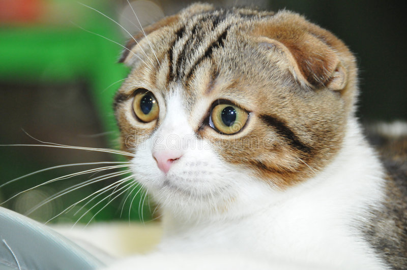 Download The lop-eared cat stock image. Image of domestic, eared - 7471893