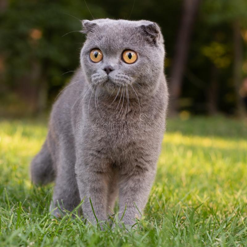 Lop-eared cat in the park on a background of green vegetation, portrait stock photography