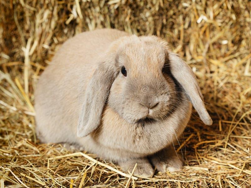 Lop królik obrazy stock