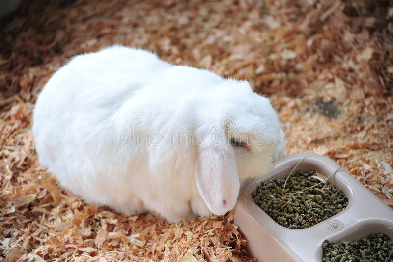 lop królika fotografia stock