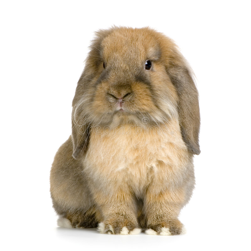 Lop Rabbit Royalty Free Stock Image