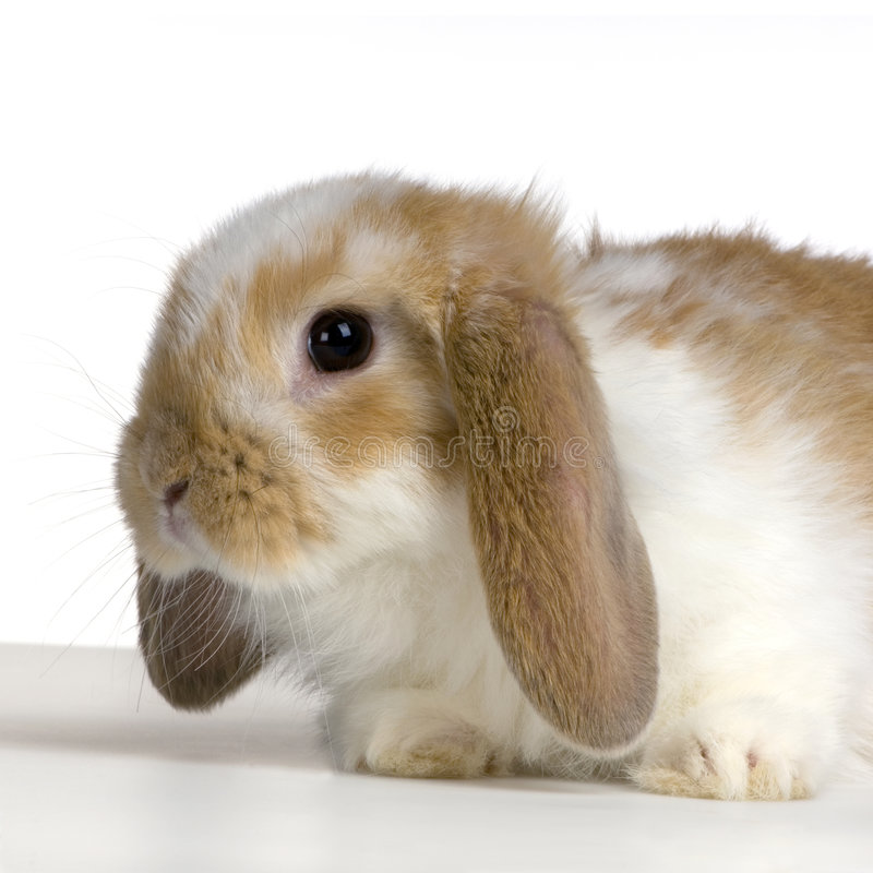 Download Lop Rabbit stock image. Image of pretty, bunny, watching - 2314365