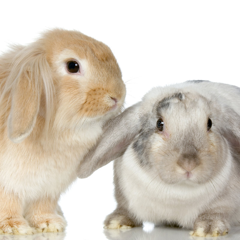 Download Lop Rabbit stock photo. Image of bunny, young, smooth - 2314656