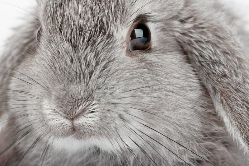 Lop Rabbit stock image