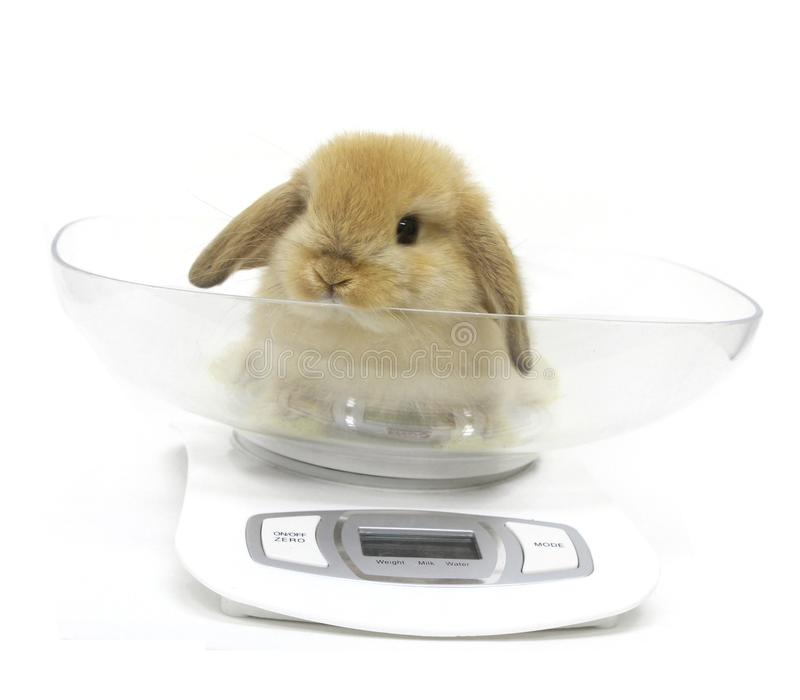 cute lop rabbit weighing scale royalty free stock photo