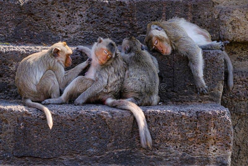 Lopburi Ταϊλάνδη Πίθηκος στο ναό Prang Sam Yot στοκ φωτογραφία με δικαίωμα ελεύθερης χρήσης