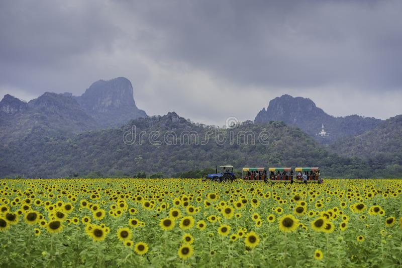 Lopburi Sun Flower Field in central of Thailand stock photo