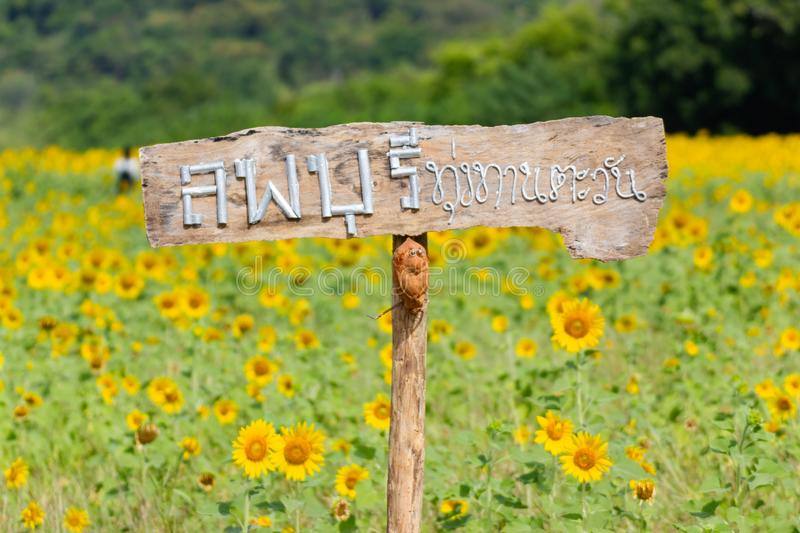 Lopburi, Thailand :- Dec 1, 2017:- Landmarks View Closeup Beautiful of a Sunflower or Helianthus in Sunflower Field stock image