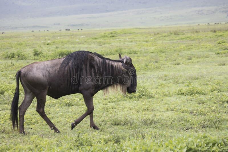Lopen het meest wildebeest, Ngorongoro-Krater, Tanzania royalty-vrije stock foto
