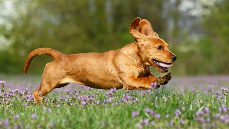 Lopend puppy royalty-vrije stock afbeeldingen