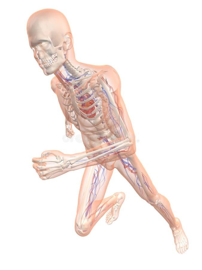 Lopend skelet - vasculair systeem royalty-vrije illustratie