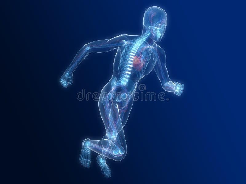 Lopend vasculair skelet - stock illustratie