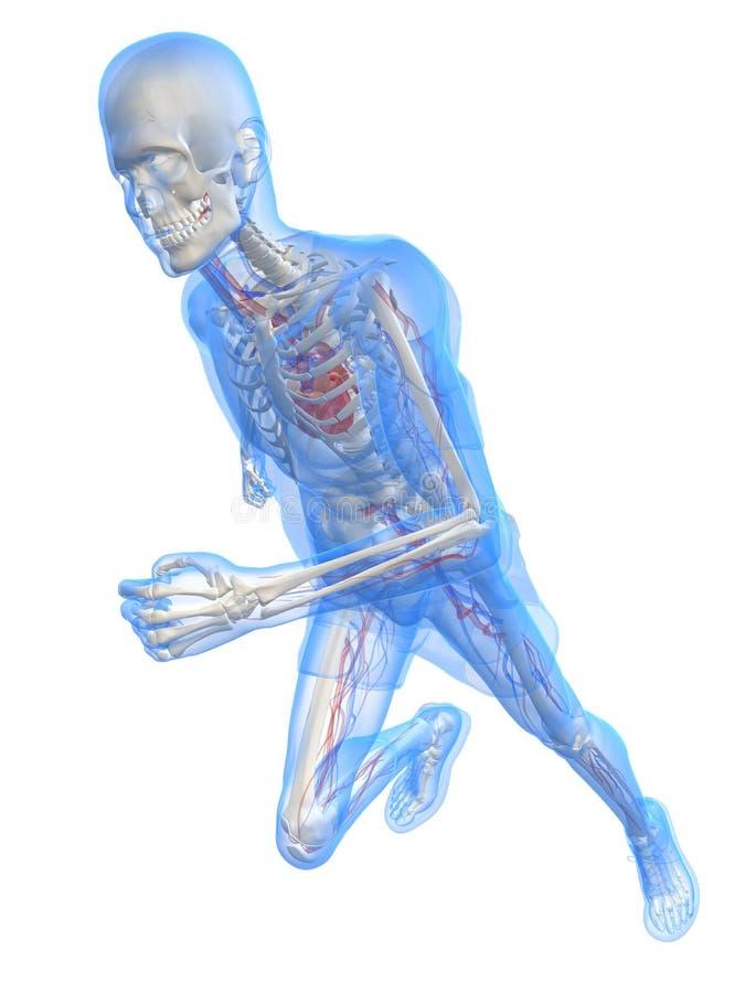 Lopend vasculair skelet - vector illustratie