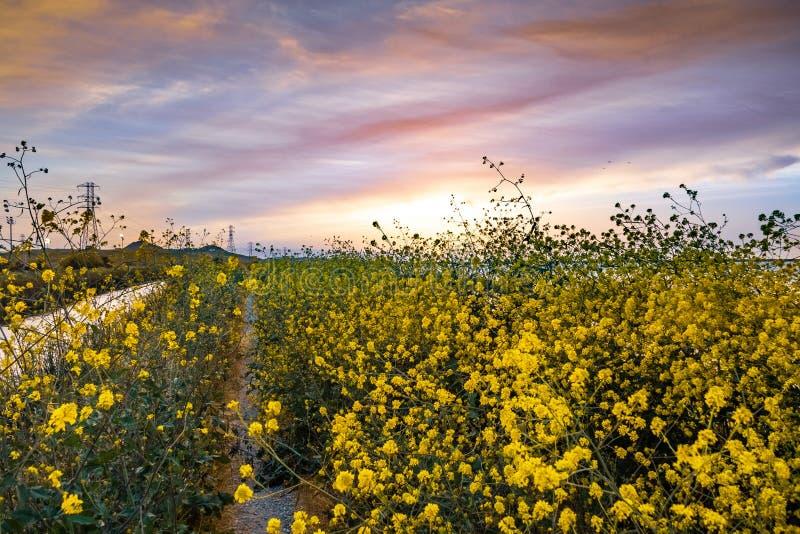 Lopend weg met Zwarte mosterdbrassica nigra wildflowers, kleurrijke zonsonderganghemel wordt overwoekerd die; San Jose, de baaige royalty-vrije stock afbeelding